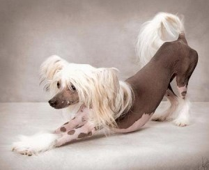 Chinese Crested Hairless Puppies 300x244 Hypoallergenic dog breeds and non shedding breeds