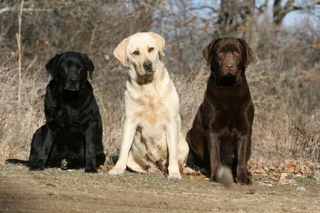 Dogs Like Labradors That Stay Little