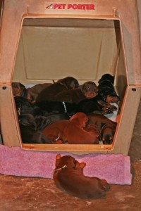 Puppies huddled in crate