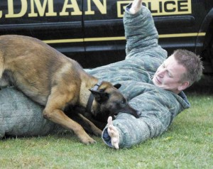 Malinois doing bite work