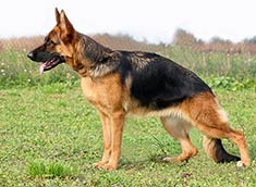 German Shepherd Dog body Watching a Breed of Dog Implode